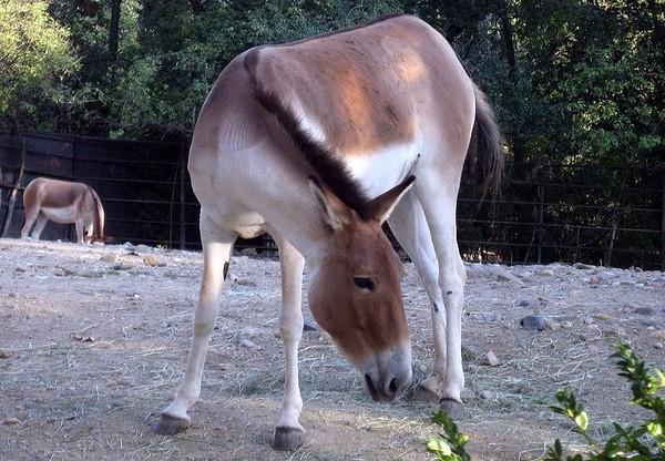 Кианг (Equus kiang) фото