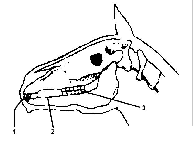 Голова лошади: рисунок, фото, описание