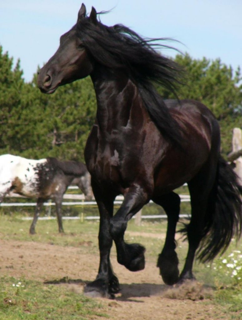 Фото лошади фризской породы вороной масти