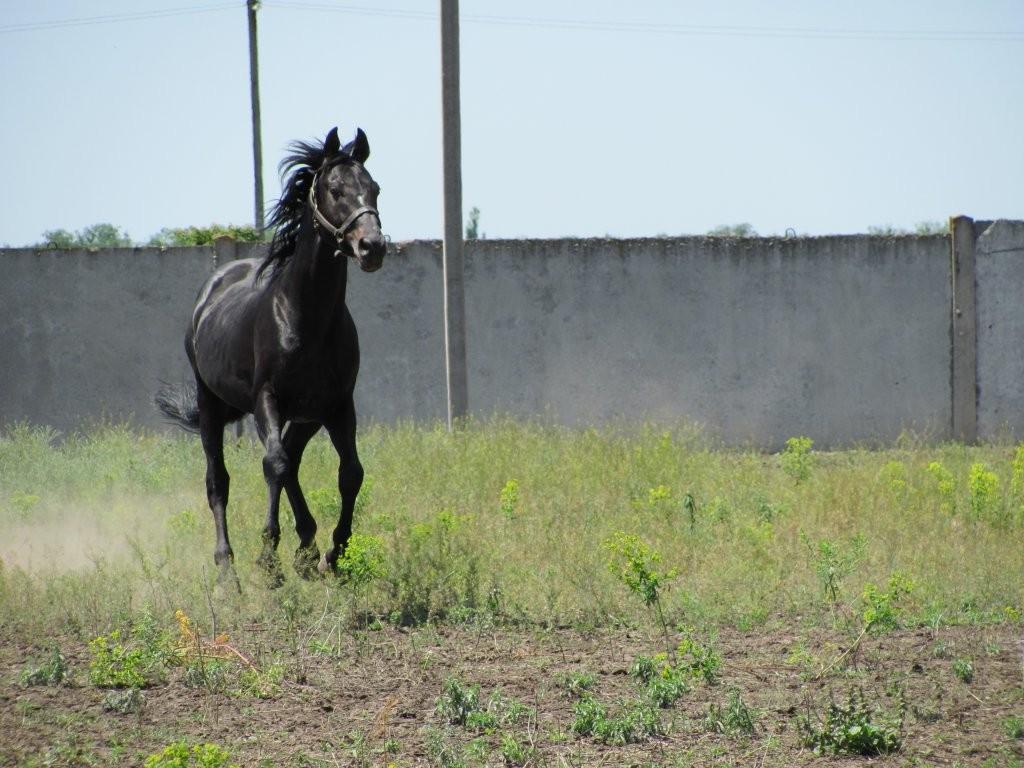 Фото лошади чистокровной верховой породы вороной масти