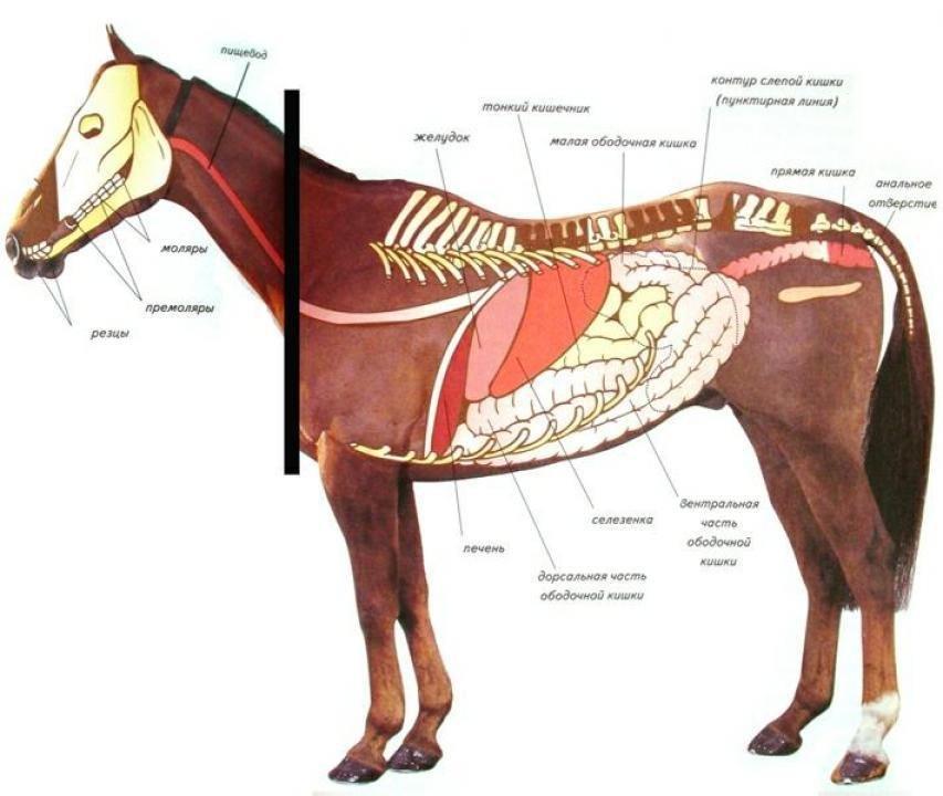 Пищеварительная система лошади.