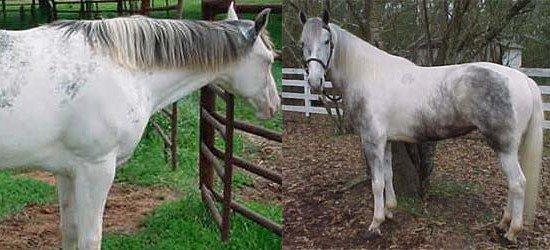 Серая масть лошади и все её оттенки: фото, описание.