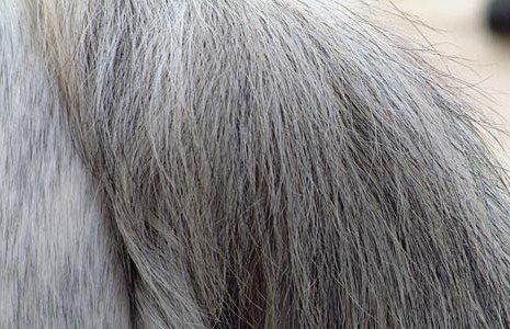 Серая масть лошади: фото, причины появления.