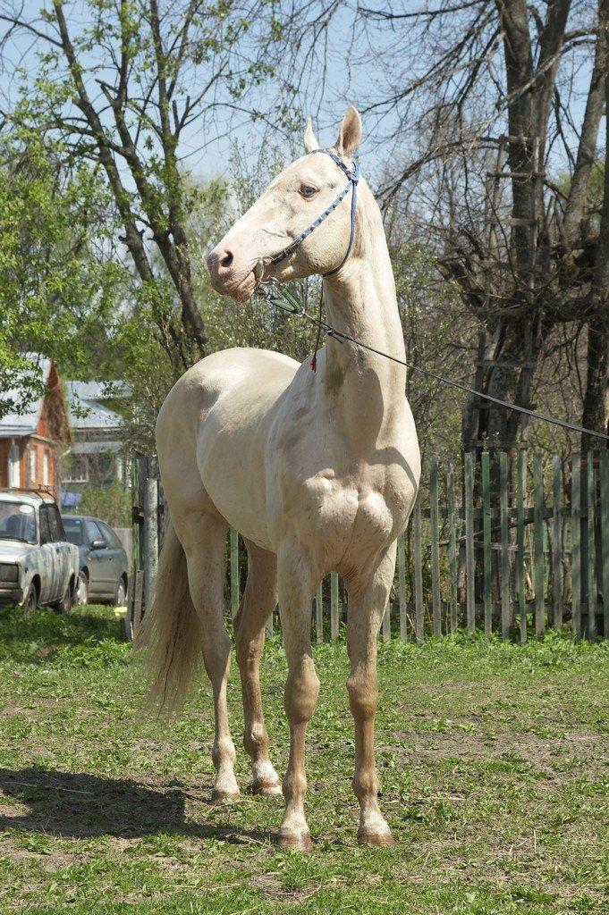 Ахалтекинская порода лошадей: фото, описание, происхождение