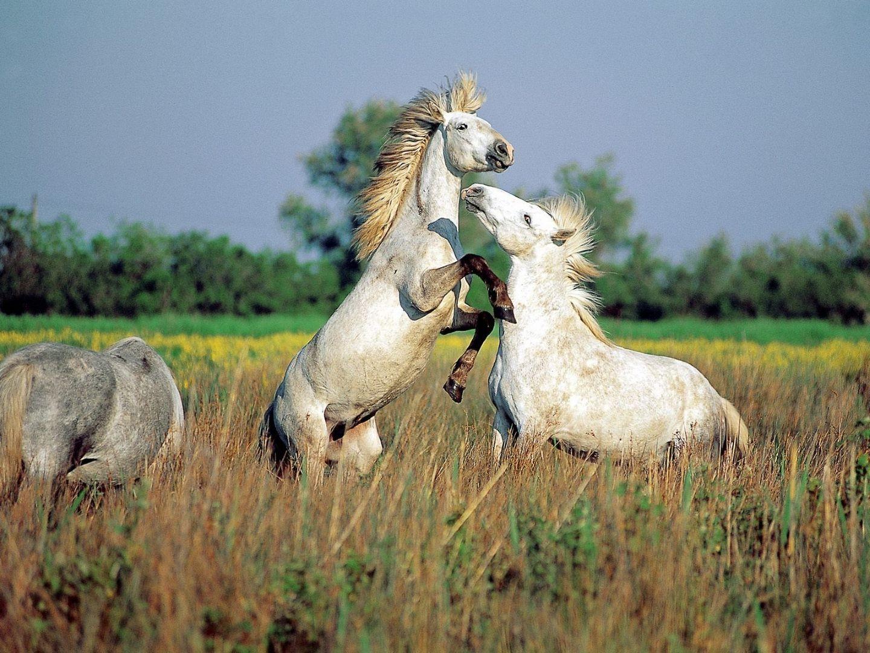 Красивые фото белых лошадей, обои на рабочий стол с лошадями Камаргу.