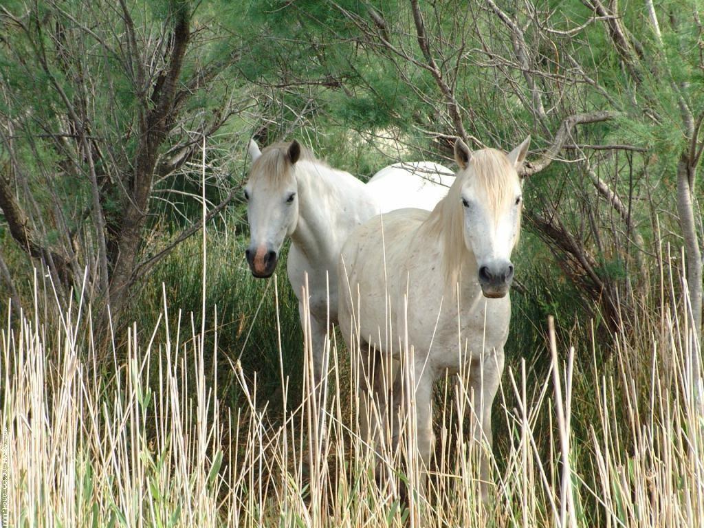 Камаргу - Порода полудиких лошадей: фото, описание, история породы