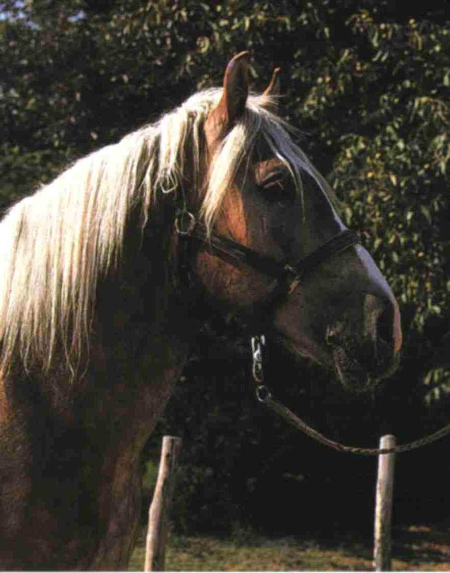 Муракозская порода тяжеловозов: фото, описание, история