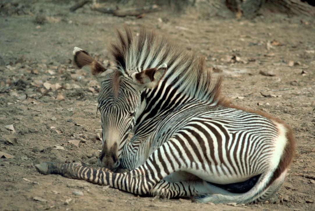 Пустынные зебры Греви (Equus grevyi): фото, описание вида