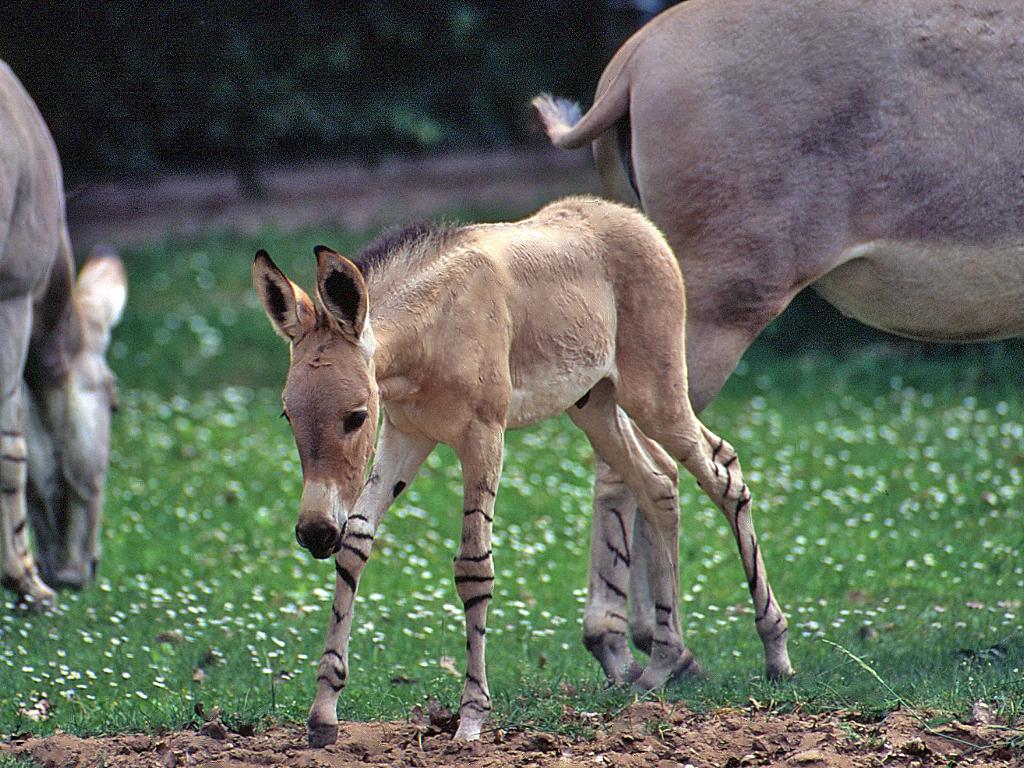 ���� ������� ������ ���� (Equus asinus)