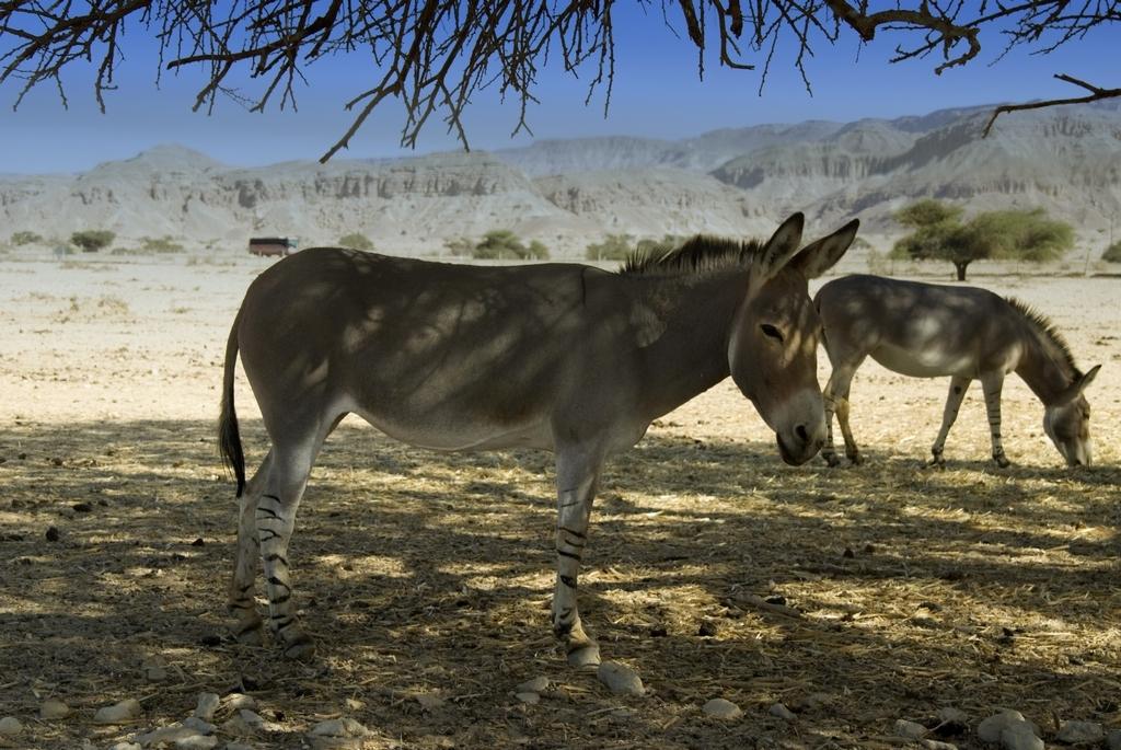 ���� ������ ���� (Equus asinus) �� ������