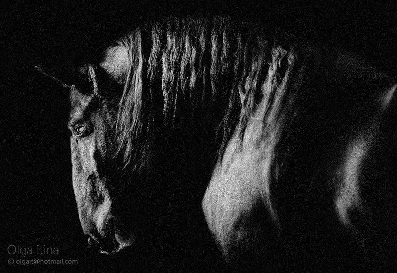 Фото лошади кладрубской породы, вороной масти