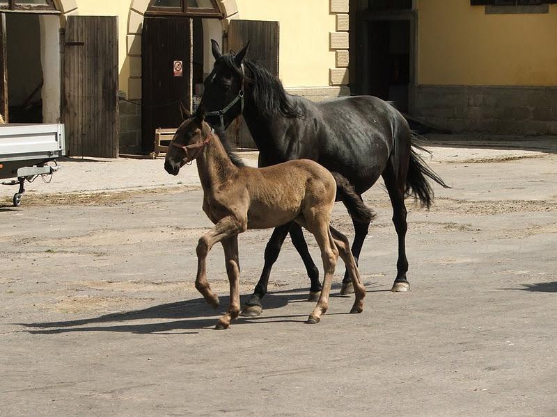 Фото лошади и жеребенка кладрубской породы