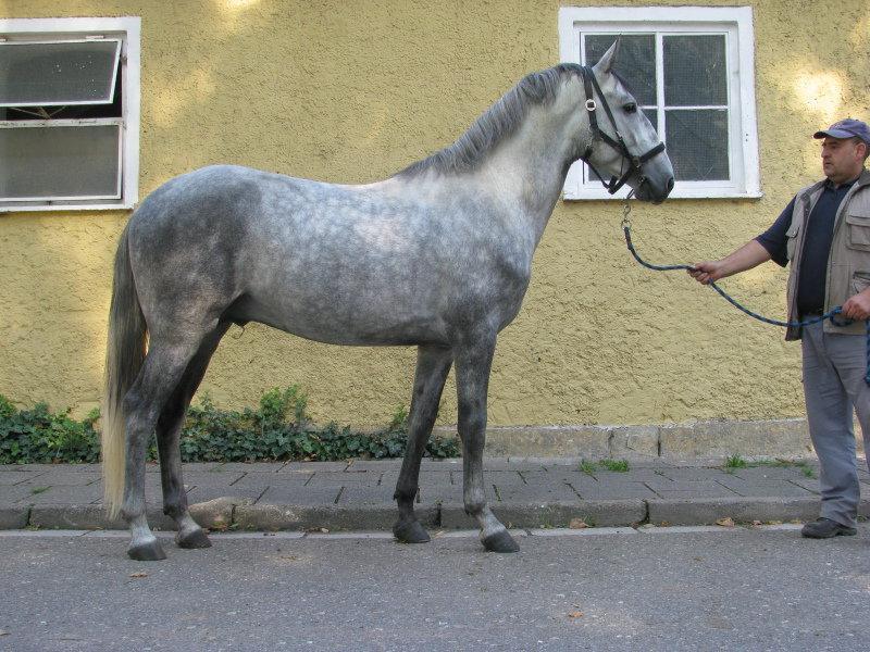 Фото лошади кладрубской породы, серой в яблоках масти