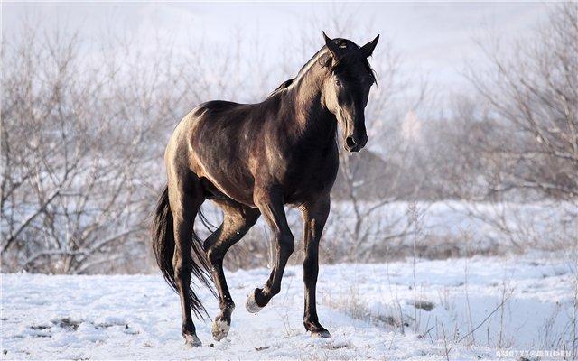 Карачаевская порода лошадей: фото, видео, описание, история породы