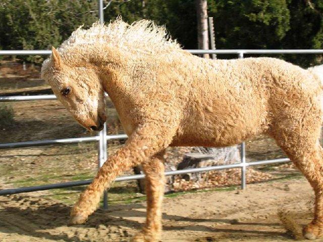 Фото лошади американский кучерявый башкир соловой масти