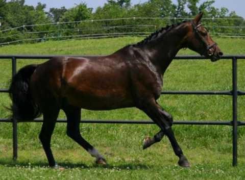 Фото лошади баварской теплокровной породы гнедой масти