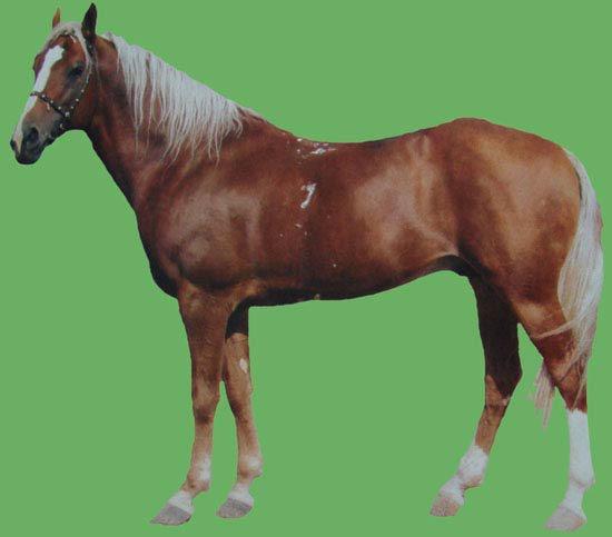 Фото лошади локайской породы