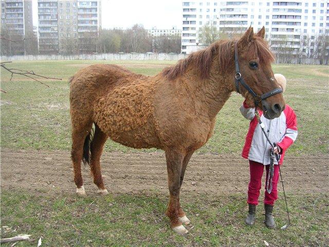 Фото лошади локайской породы рыжей масти