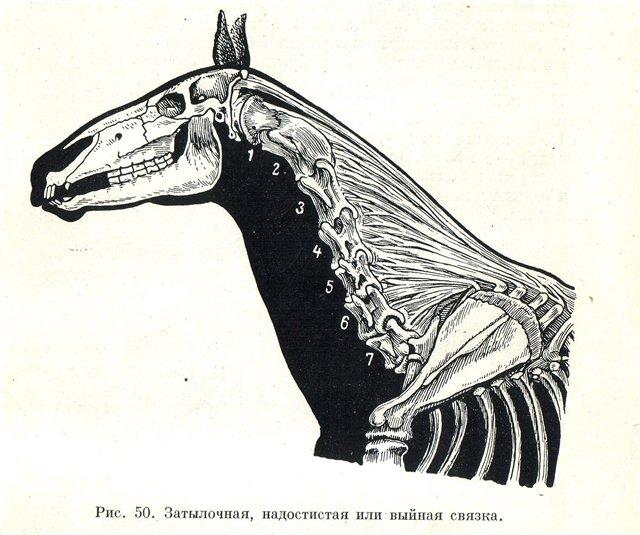 выйная связка шеи лошади