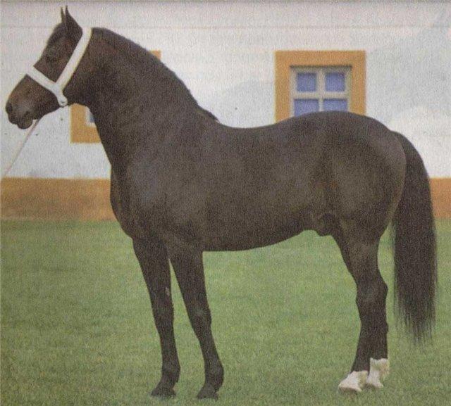Фото лошади породы Альтер-реал гнедой масти
