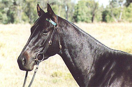 Фото лошади австралийской пастушьей породы караковой масти