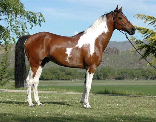Фото лошади австралийской пастушьей породы гнедо-пегой масти