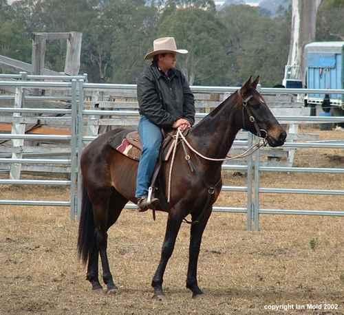 Фото лошади австралийской пастушьей породы темно-гнедой масти