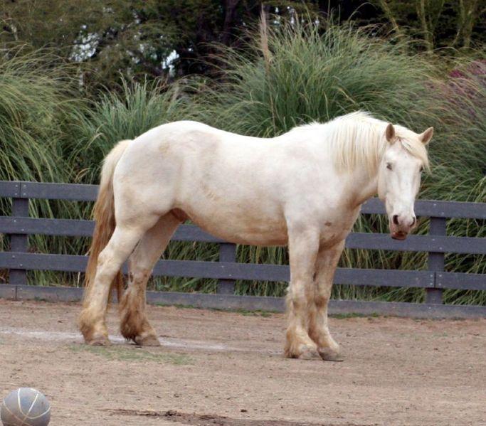 Фото лошади американской кремовой породы золотой масти