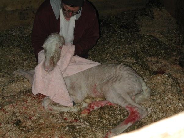 Фото новорожденного жеребенка американской кремовой породы золотой масти