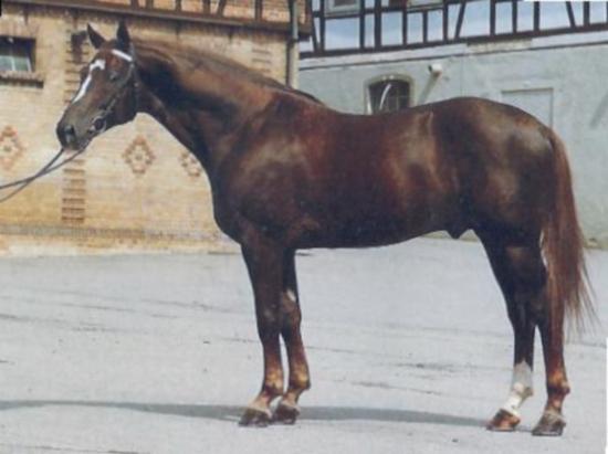 Фото вюртеммбургской теплокровной лошади рыжей масти