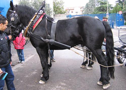 Фото лошади черноморской породы вороной масти