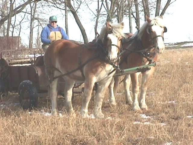 Фото лошадей брабансонской породы игреневой масти