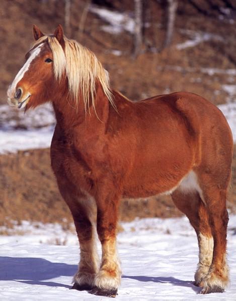 Фото лошади брабансонской породы игреневой масти
