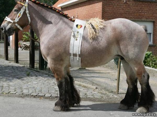 Фото лошади брабансонской породы булано-чалой масти