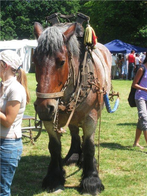 Фото лошади брабансонской породы гнедой масти