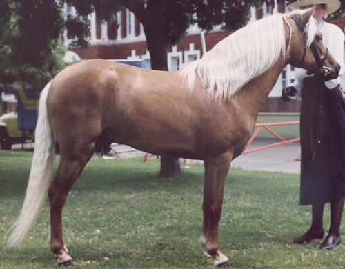 Фото австралийского пони соловой масти