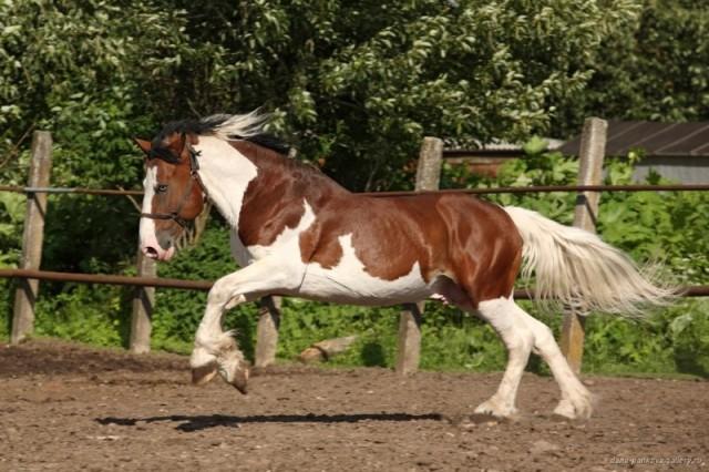Фото лошади гнедо-пегой масти