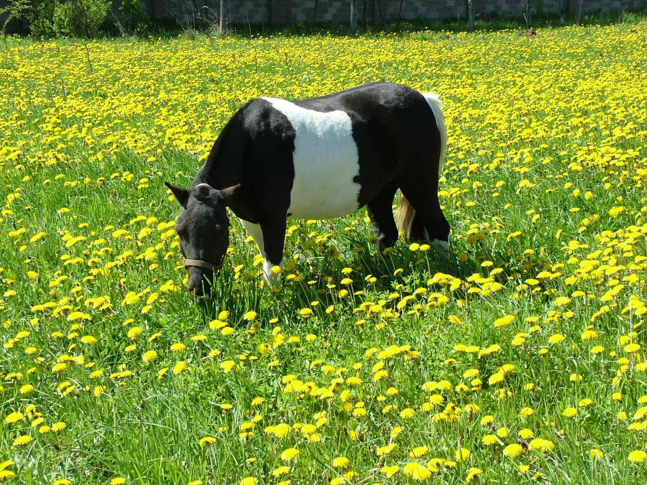 Фото пони вороно-пегой масти