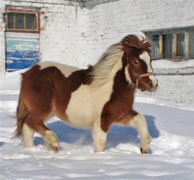 Фото пони рыже-пегой масти