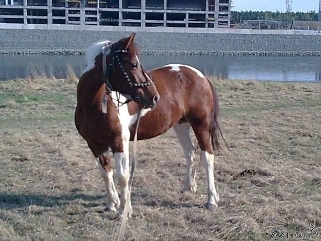 Фото лошади рыже-пегой масти