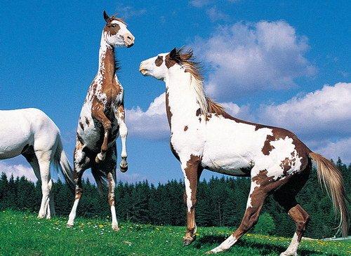 Фото лошадей рыже-пегой масти