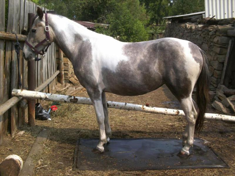 Фото лошади серо-пегой масти