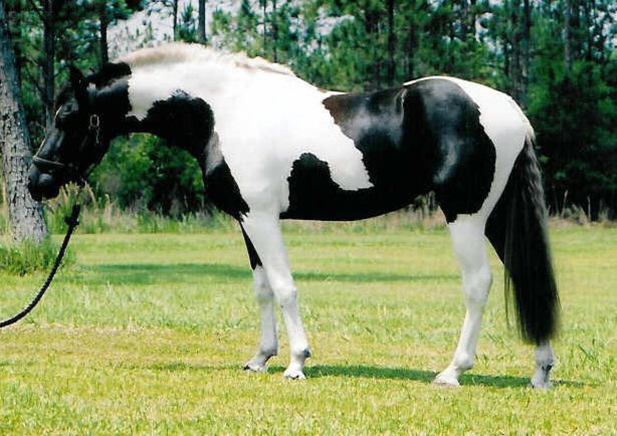 Фото лошади породы пинто вороно-пегой масти