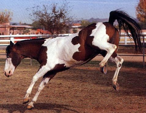 Фото лошади породы пинто гнедо-пегой масти