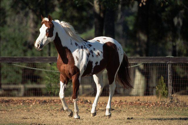 Фото лошади породы пинто рыже-пегой масти