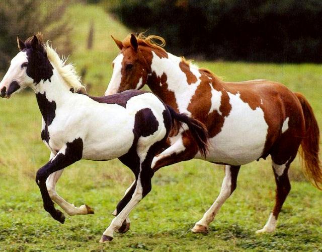 Фото лошадей породы пинто