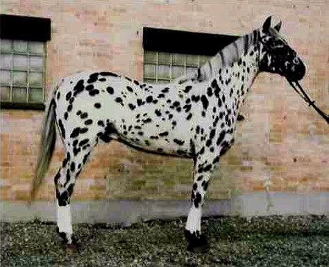 Фото лошади кнабструбской породы чубарой масти