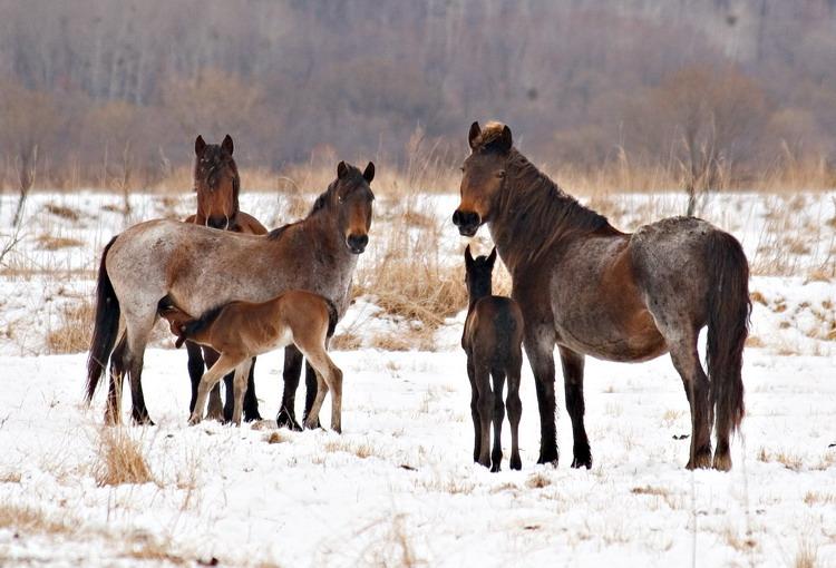 Фото лошадей гнедо-чалой масти