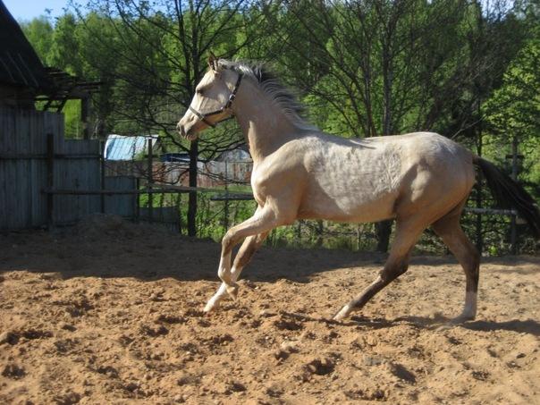 Фото лошади светло-буланой масти