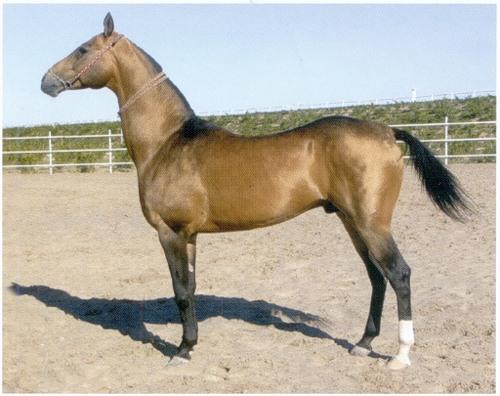 Фото лошади золотисто-буланой масти
